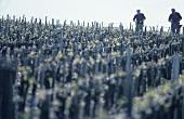 Two men in vineyard, Medoc, France