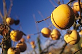 Kaki persimmon on the branch, Bordeaux, France