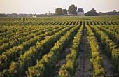 Vineyard of Chateau Margaux, Medoc, France