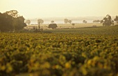 Vineyard, Chateau Latour, Gironde in background, Medoc, France