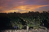 Vineyard of Chateau Leoville-Las-Cases, St-Julien, Bordeaux