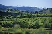 Collio region on the Slovenian border, Friuli, Italy