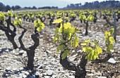 Anbau von Mourvèdre, Bandol, Provence, Frankreich
