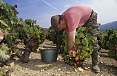 Grape picking, Julienas, Beaujolais Cru region, Burgundy
