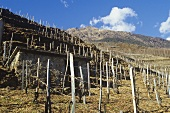 Alpine vine culture, Tirano, Valtellina, Lombardy, Italy
