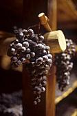 Trauben zum Trocknen für Vin Santo, Toskana