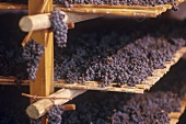 Grapes drying on straw mats for Vin Santo,  Tuscany