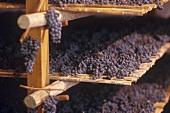 Trauben zum Trocknen auf Strohmatten für Vin Santo, Toskana