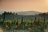 Vineyard near Greve,  Chianti Classico,  Tuscany,  Italy
