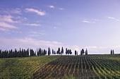 La Madonnina vineyard,  Greve,  Chianti Classico,  Tuscany