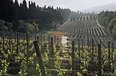 Rows of vines between avenue of cypresses, Bolgheri, Maremma, Italy