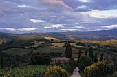 Landscape of vines near Montalcino, Tuscany, Italy