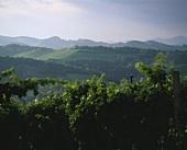 Vineyard near Gamlitz, Steiermark (Styria), Austria