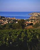 Vineyard near Collioure, Roussillon, France