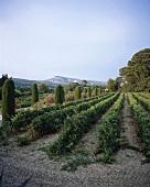 Weingarten bei Cassis, Provence, Frankreich