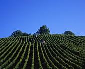 Vineyard near Schorndorf, Remstal (Rems Valley), Baden-Württemberg