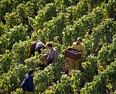 Grape-picking in Burgundy, France