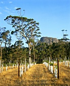 Vineyard of Karrivale Wines, Porongurup, W. Australia
