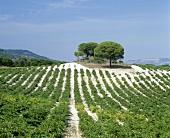 Bodegas Vega Sicilia, Valbuena de Duero, Ribera del Duero, Spain