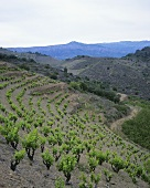 'L'Ermita' single vineyard site, Gratallops, Priorato, Spain