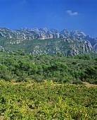 Weinbau nahe El Bruch (Montserrat im Hgr.), Penedés, Spanien