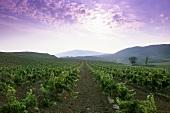 Wine growing around Puenta la Reina, Navarra, Spain
