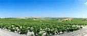 Wine-growing around Jerez de la Frontera, Spain