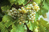 Riesling grapes on the vine
