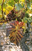 Grauburgunder (Pinot gris) grapes on vine with autumn leaf