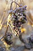 Petite Arvine, dried grapes with botrytis, Valais, Switzerland