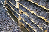 Grapes drying on reed mats for Amarone, Italy