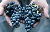 Merlot grapes, Ticino, Switzerland