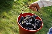 Grape-picker carrying bucket of Blauburgunder grapes