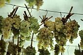 Apassimento von weissen Trebbbiano Trauben für Vin Santo