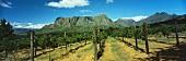 Vineyards of Thelema Mountain Estate, Stellenbosch, S. Africa