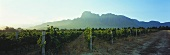 Vineyards, Groot Drakenstein in background, Paarl region, S. Africa