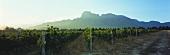 Vineyards, Groot Drakenstein in background, Paarl region, S. Africa