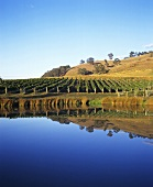 Vineyard of Yarra Ridge Winery, Yarra Valley, Australia