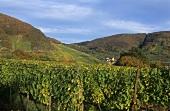 Vineyards near Senheim, Mosel, Germany