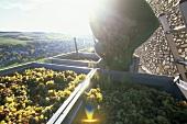 Weinlese im Weinbaugebiet Mosel, Rheinland-Pfalz, Deutschland