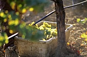 A basketful of white wine grapes, Napa Valley, Calif., USA