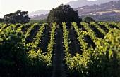 Gallo Family Vineyards, Sonoma Valley, Kalifornien, USA