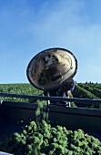 Weinlese im Loire-Tal, Frankreich