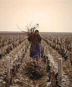 Woman collecting sticks for burning, Chateau Leoville-Barton, France