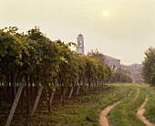 Wine-growing by Lake Garda, Lazise, Veneto, Italy