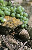 Riesling grapes, 'Stettener Brotwasser' single vineyard site, DE