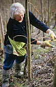 Tying in fruiting vine shoots ('round bow' style), Mosel-Saar-Ruwer
