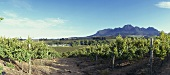 Vineyard of Rust en Vrede Estate, Stellenbosch, S. Africa
