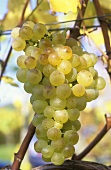 Fendant grapes hanging on the vine