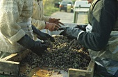 Picking dried Riesling grapes